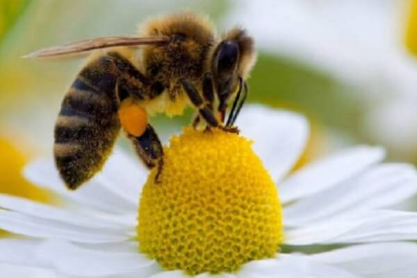 POEMAS SIDERALES ( Sol, Luna, Estrellas, Tierra, Naturaleza, Galaxias...) - Página 25 Las-abejas.-Curiosidades-tipos-y-co%CC%81mo-se-comunican