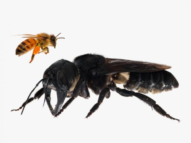 En Indonesia reaparece la abeja más grande del mundo