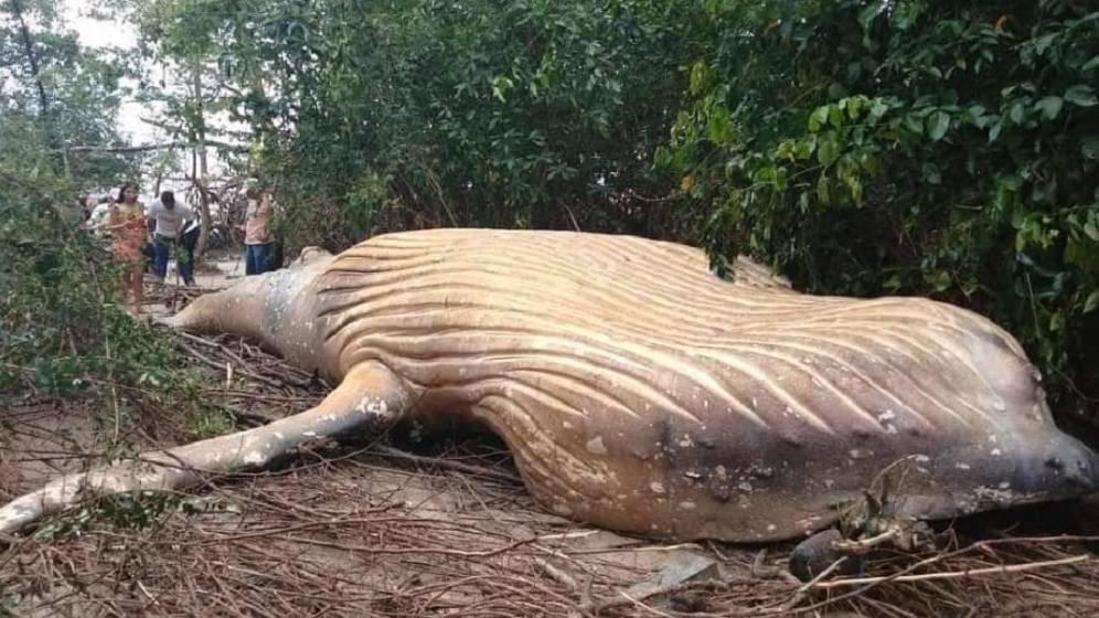 Encuentran a una ballena jorobada sin vida en medio de la selva amazónica brasileña
