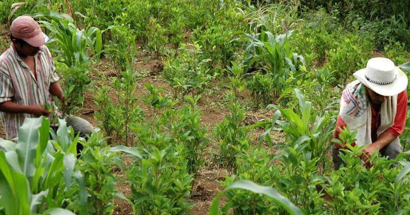 Aumentaron cultivos de coca en Colombia