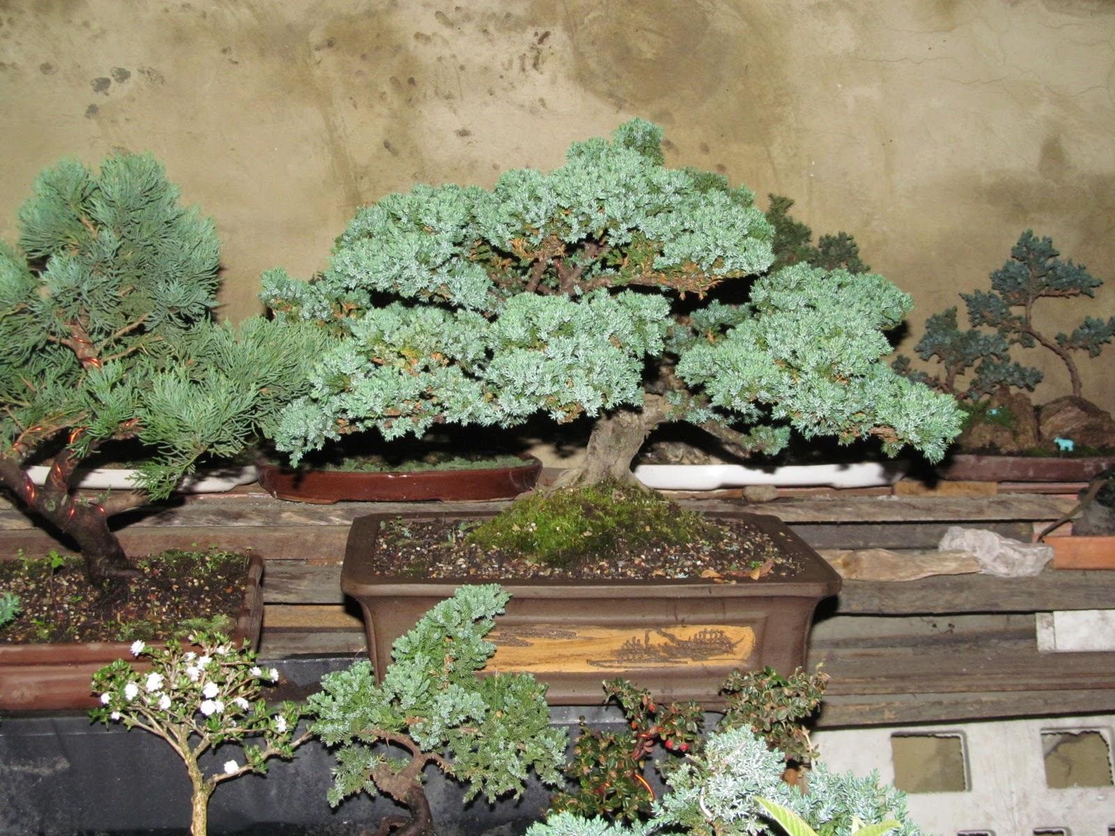 La belleza del arte bonsái en Bogotá