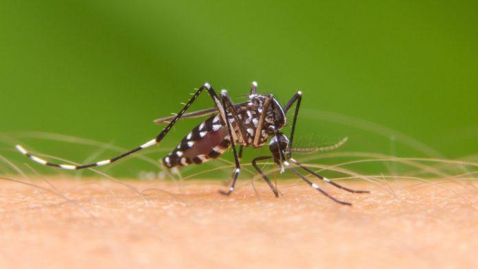 Aedes aegypti, el mosquito transmisor del dengue zika y chikungunya.