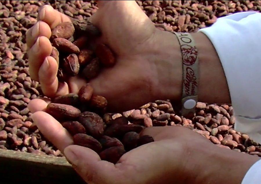 El cacao como cultivo para la paz y producto de exportación de alta calidad