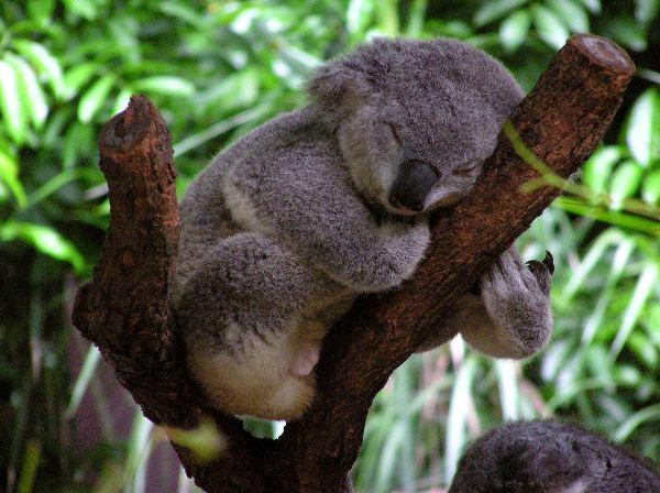 La falta de agua cobra la vida de los koalas