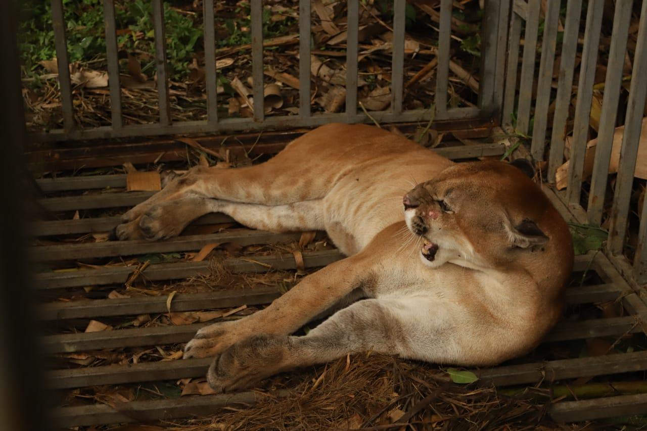 Liberan un puma en el Parque Nacional Natural Paramillo