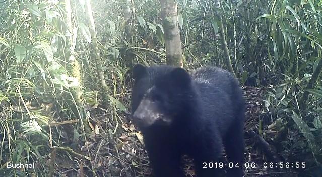 En cámara el Oso Andino y más de 17 especies silvestres en 4 áreas protegidas de Colombia