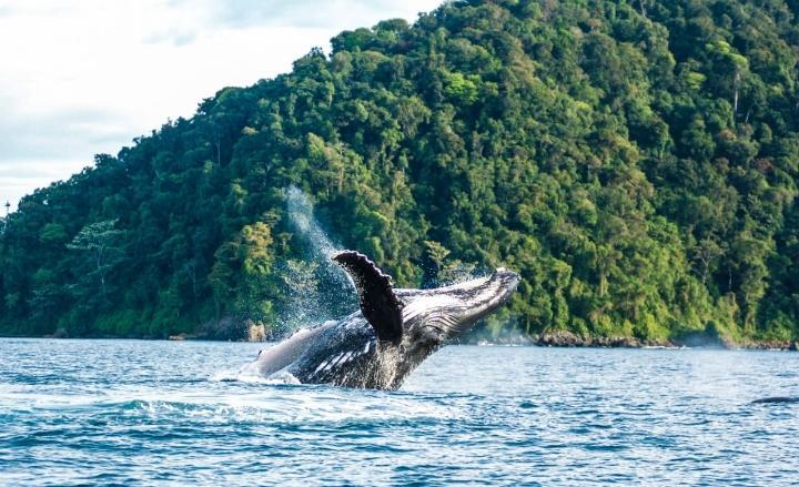Temporada de avistamiento de ballenas en el Pacífico colombiano