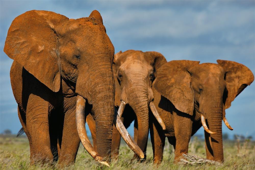 Marfil, la muerte de las poblaciones de elefantes