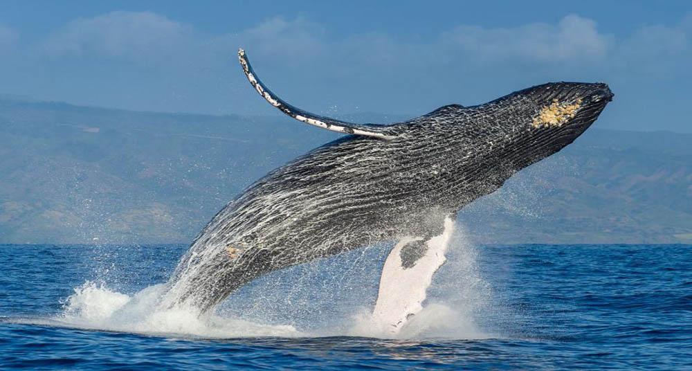 Las ballenas: la posible solución para frenar el cambio climático