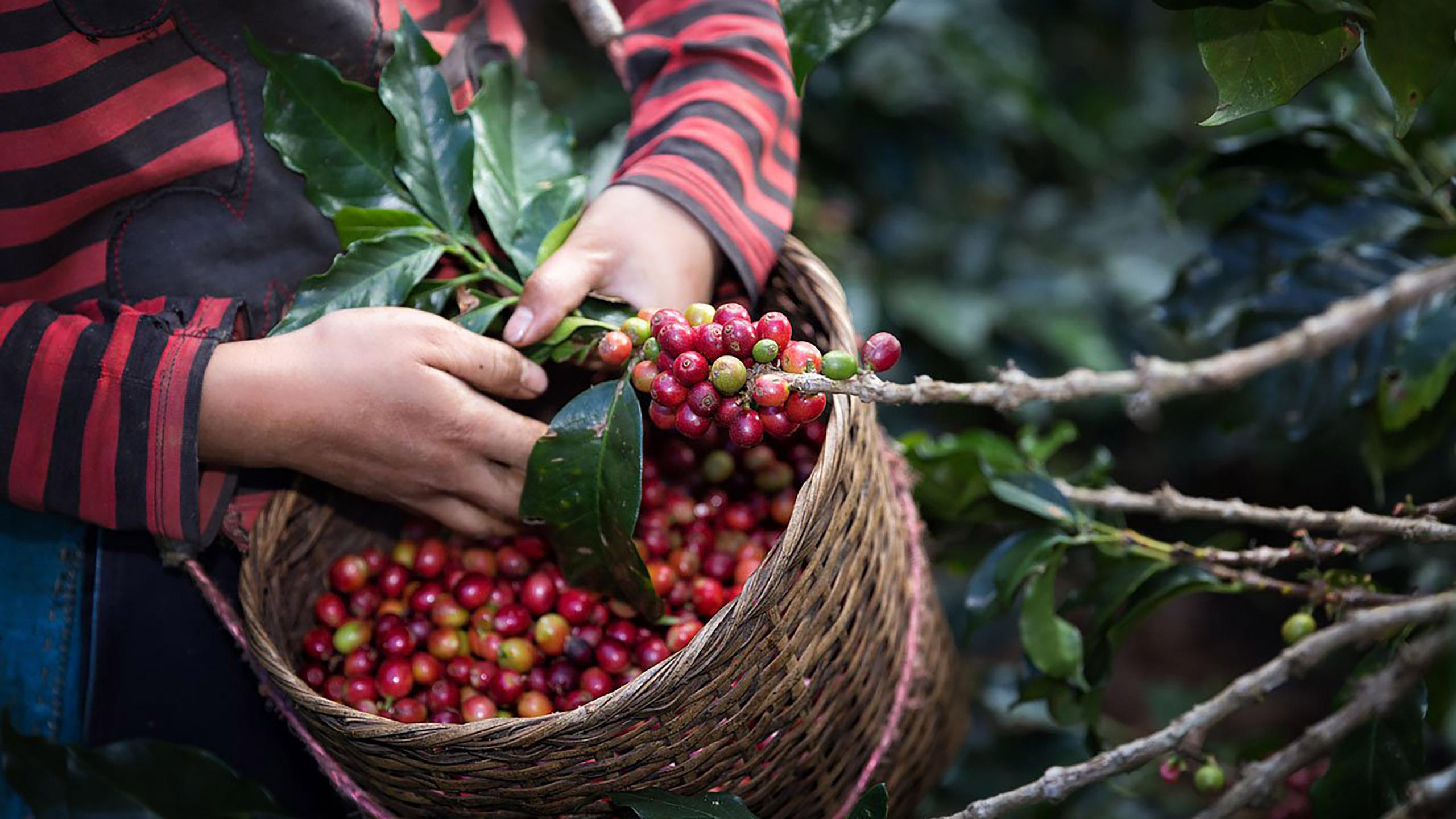 [Especial] El camino del café colombiano